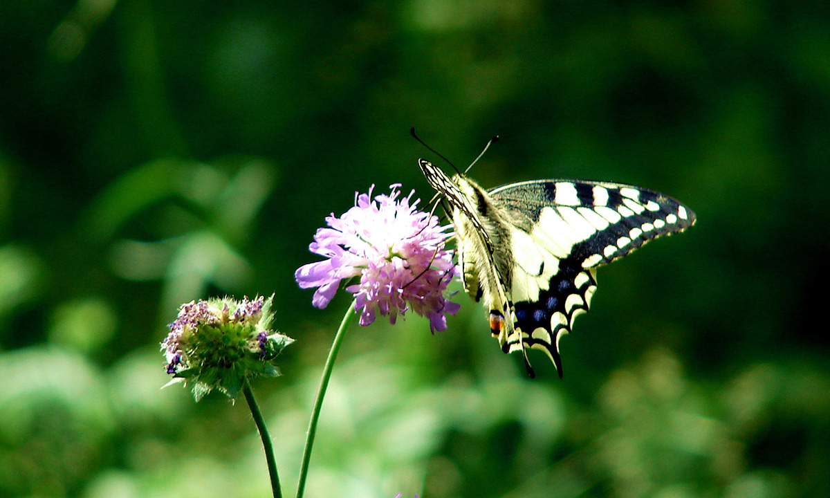 Machaon01