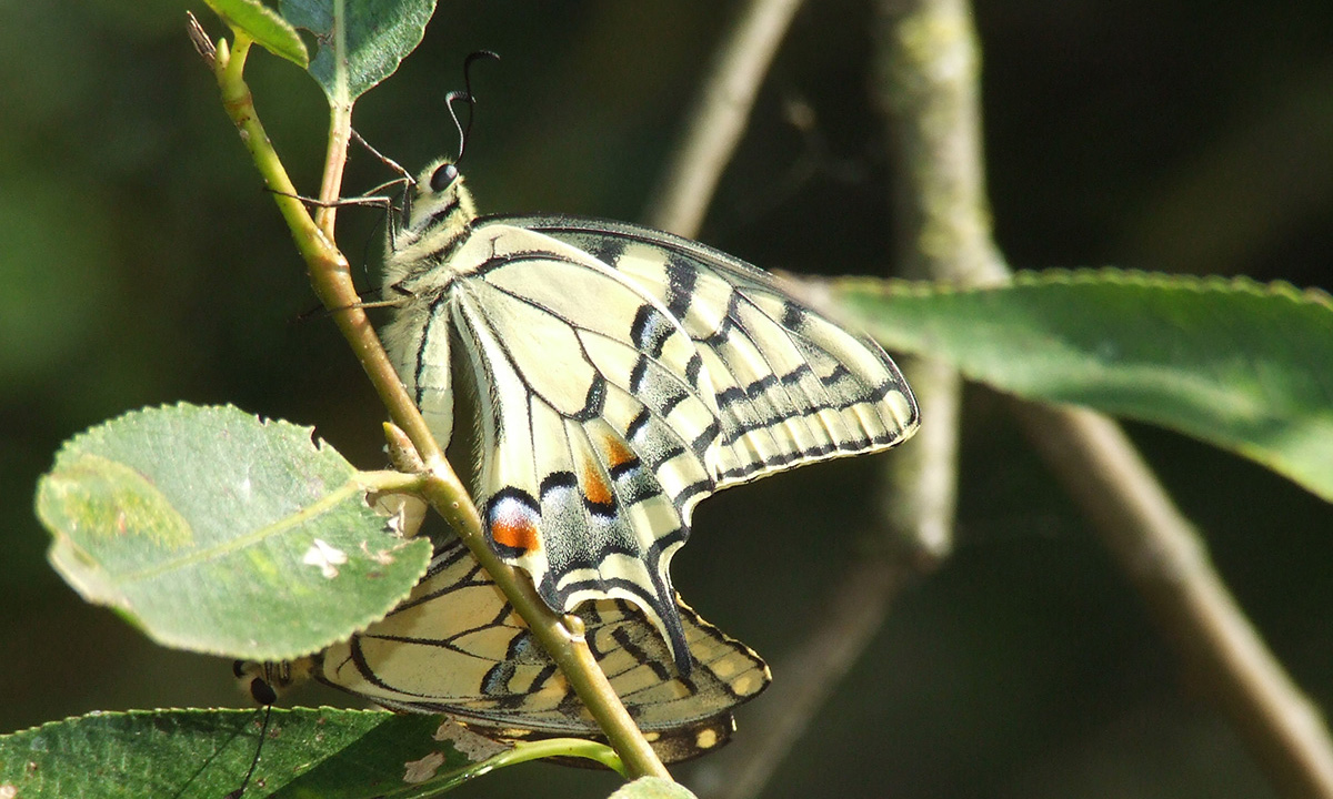 Machaon02