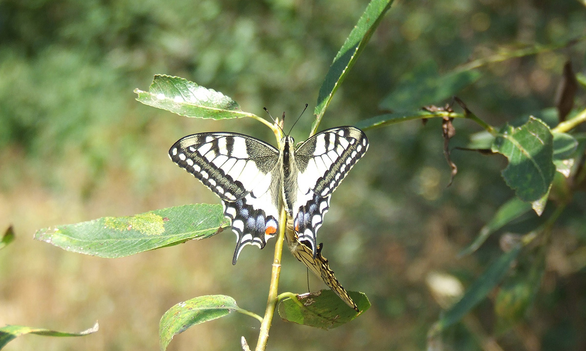 Machaon05